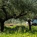 E mais olivas