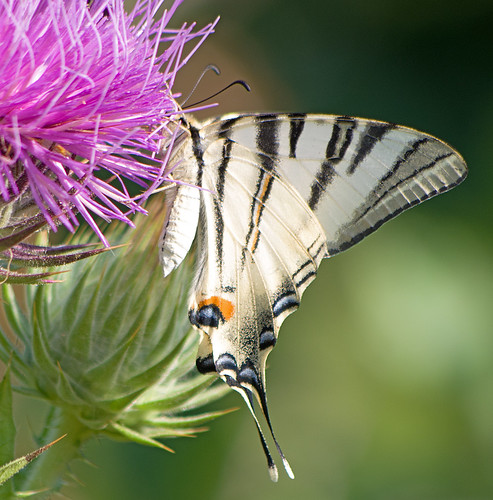 Подалирий / Iphiclides podalirius / Scarce Swallowtail / Лястовичата опашка / Segelfalter