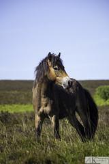 Exmoor pony (AKphotographyStaffordshire) Tags: d7200 nikon weller amanda karl akphoto akphotography somerset staffordshire equine brown pony exmoor