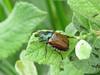 Garden Chafer (Phyllopertha horticola) (Julian Hodgson) Tags: gardenchafer phylloperthahorticola coleoptera scarabaeidae insect beetle scarabbeetle chafer portban achateny ardnamurchan argyll scotland canonpowershotsx60hs