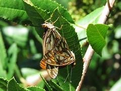 Gulf Fritillary Butterflies - South Coast Botanic Garden (weezerbee9) Tags: