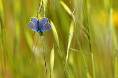 La farfalletta tra l'erbetta (luporosso) Tags: natura nature naturaleza naturalmente nikon licenide licenidae farfalla farfalle butterfly butterflies mariposa borboleta papillon