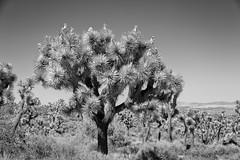 IMG_4815-Edit (Chris Valle Photography) Tags: chrisvallephotography jtnpjoshuatreenationalpa joshuatreenationalpark yuccavalley california unitedstates us