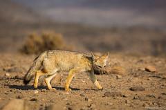 _04A8996 (Paolo_Riquelme_Quiroz) Tags: zorro gris chilla grey fox animales animals fauna nativa desierto desert cactus punta de choros la serena coquimbo reserva nacional sigma 150600mm contemporary canon 5d mark iii