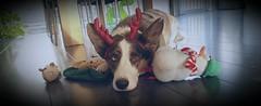 Sir.Loki (Daniella Velings) Tags: christmas kerstmis reindeer rendier loki sirloki welshcorgicardigan corgi bluemerle mydog dog hond mylife cute schattig photography fotografie christmasspirit