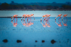 And they were everywhere... (shoothekuruvi) Tags: pink blue india birds water flamingo nikon desert salt 300mm