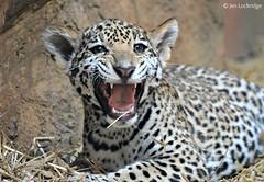 Jaguar cub (Nikon~Dolll) Tags: jaguarcub babyjaguar bigcat cat elmwoodparkzoo norristownpa jenlockridge may may2017 2017 teeth tongue babycat babyanimal