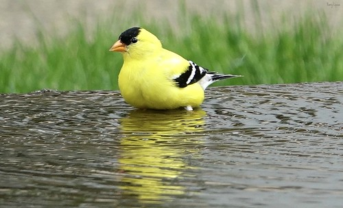 """Mssr. Gold Finch • <a style=""""font-size:0.8em;"""" href=""""http://www.flickr.com/photos/52364684@N03/34937237042/"""" target=""""_blank"""">View on Flickr</a>"""