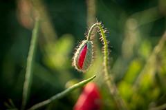 Mohn (mariokopatz) Tags: mohn summer flower oldlens m42 tessar50 tessar 50mmf28 50 28 czj