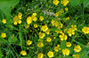 Thésée-la-Romaine (Loir-et-Cher) (sybarite48) Tags: théséelaromaine loiretcher france boutondor ranunculus ranunculusacris fleur blume flower زهرة 鲜花 flor λουλούδι fiore 花 bloem kwiat цветок çiçek jaune yellow gelb أصفر 黄 amarillo κίτρινοσ giallo 黄色 geel żółty amarelo желтый sarı