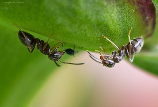 Ants & aphid