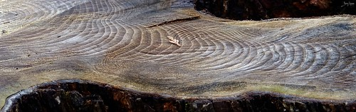 """Tree Rings • <a style=""""font-size:0.8em;"""" href=""""http://www.flickr.com/photos/52364684@N03/34964489890/"""" target=""""_blank"""">View on Flickr</a>"""