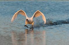Décollage du Cygne tuberculé (kingfisher001) Tags: cygnetuberculé ansériformes oiseaux baiedesomme étangdelabassée cygnus olor mute swan muteswan anatidés