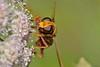 Milesia crabroniformis (Fabricius, 1775). Hembra (Jesús Tizón Taracido) Tags: diptera brachycera cyclorrhapha syrphidae eristalinae milesiacrabroniformis