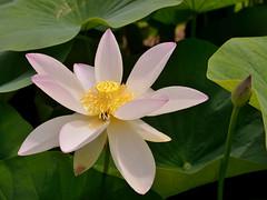 Floating Above the Muddy Waters (Eddie C3) Tags: parisfrance vacationphotos flowers botanicalgardens jardindesplantes lotusblossom nelumbonucifera