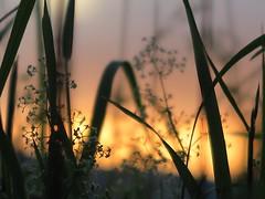Pour nos lendemains (nathaliedunaigre) Tags: coucherdesoleil sunset macro herbes fleurs wildgrass flowers details détails pastel douceur softness nature bokeh effetbokeh