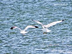 Huelva 14 Gaviota (ferlomu) Tags: andalucia ave ferlomu gaviota huelva
