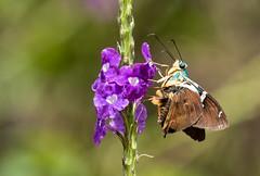 IMG_4574  Two Barred Flasher_Skipper (ashahmtl) Tags: twobarredflasher skipper insect astraptesfulgerator copalingalodge zamora chinchipeprovince ecuador