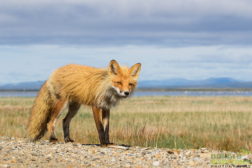 A Red Fox strolls along the edge of Council Road in Nome Alaska.