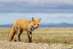 A Red Fox strolls along the edge of Council Road in Nome Alaska. (Donald Quintana Nature Photography) Tags: nome alaska redfox vulpes councilroad tundra canid