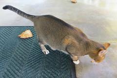 Key West (Florida) Trip 2016 2534Ri 4x6 (edgarandron - Busy!) Tags: cat cats kitty kitties cute feline