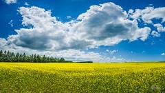 Canola Fields (Richard Adams Photography) Tags: canola field ontario ontario150 myontario canada150 owen sound portelgin farming sunshine