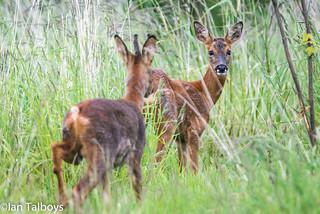 Roe Deer 10