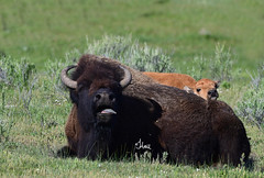 Not Now!! Mama needs a break - Bison Cow and Calf - 9000b (teagden) Tags: bison cow bisoncalf babybison americanbison jenniferhall jenhall jenhallphotography jenhallwildlifephotography wildlifephotography wildlife photography nikon wild nature naturephotography yellowstonenationalpark yellowstone ynp yellowstonepark yellowstonewildlife spring springtime