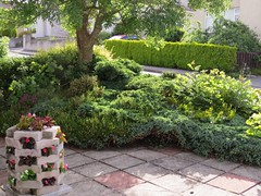 2226 The front yard (Andy - Busyyyyyyyyy) Tags: babybegoina bbb easymaintainance garden ggg green heather hhh hiriseplanter jjj juniper patio ppp yarden yyy