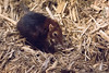 brookfield zoo. march 2017 (timp37) Tags: elephant shrew mouse illinois march 2017 brookfield zoo