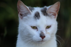 Thinking (excellentzebu1050) Tags: pet cat kitten animal animalportraits farm closeup coth5 sunrays5