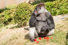 2017-06-05-10h38m46.BL7R6928 (A.J. Haverkamp) Tags: bokito canonef100400mmf4556lisiiusmlens rotterdam zuidholland netherlands zoo dierentuin blijdorp diergaardeblijdorp httpwwwdiergaardeblijdorpnl gorilla westelijkelaaglandgorilla dob14031996 pobberlingermany nl