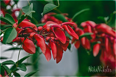 Сockspur coral tree (Erythrina crista-galli) (Nika Niksler) Tags: flowers tropical exotic red flora nature plant tree rouge 花 цветы rojo fleurs naturaleza bloom blooming blossom flores