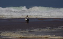 Werri Beach (RossCunningham183) Tags: waves pelicans werribeach australia bigwaves ocean sea