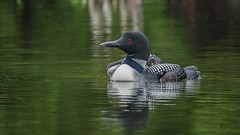 First Look at a Big World (Jeff Manser) Tags: loonhatchingdayjune162017 loon chick two green water spring