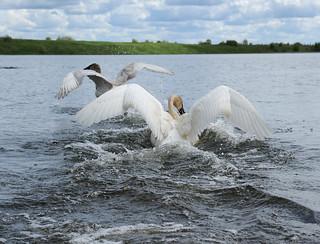 Cygnes trompette - Trumpetter Swan