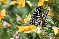 Swallowtail Butterfly (Johnnie Shene Photography(Thanks, 2Million+ Views)) Tags: swallowtailbutterfly swallowtail butterfly oldworldswallowtail papiliomachaon papilio nature natural wild wildlife livingorganism tranquility adjustment fulllength depthoffield bokeh perching resting awe wonder sideview wings limbs lighteffect spring day daylight feeler staying still stationary korea asia spreadwings photography horizontal outdoor colourimage fragility freshness nopeople foregroundfocus interesting macro closeup magnified highangle elegance vibrant luminosity bright animal insect bug lepidoptera canon eos80d 80d tamron 90mm f28 11 lens 호랑나비 산호랑나비 나비 곤충 접사 매크로