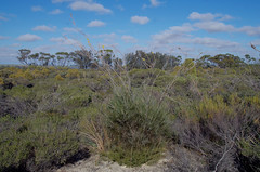 Grevillea excelsior, Lake Mears, south of Quairading, WA, 04/06/17 (Russell Cumming) Tags: plant grevillea grevilleaexcelsior proteaceae lakemears quairading westernaustralia