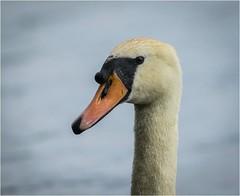 Swan Portrait (cconnor124) Tags: swans waterbirds largebirds whitebirds naturephotography uknature nature canon100400lens canon7dmk11