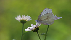 Cabbage Butterfly (Johnnie Shene Photography(Thanks, 2Million+ Views)) Tags: cabbagebutterfly butterfly whitebutterfly commonbutterfly sideview lepidoptera nature natural wild wildlife livingorganism tranquility adjustment fulllength depthoffield nopeople foregroundfocus interesting awe wonder insect bug feeler perching resting korea asia lighteffect feeding photography horizontal outdoor colourimage fragility freshness bokeh daisy flower flora floral macro closeup magnified spring day daylight staying sitting settling settle vivid sharpness plant beautiful animal animalandplant canon eos80d 80d tamron 90mm f28 11 lens 배추흰나비 흰나비 나비 곤충 접사 매크로