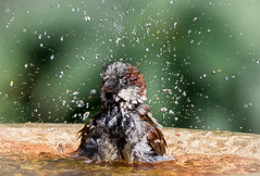 Brrrrrrrwaaaahhhhhh...!! (Stu thatcher) Tags: bird uk water bath fast shutter speed birds wet splash britain england english worcester worcestershire wow