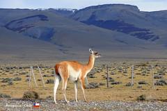 Guanaco (YellowSingle 单黄) Tags: guanaco lama camelid patagonia chile antarctica pampa mountain nikon