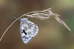Marbled White On Grass (Gary Stamp cPAGB) Tags: marbledwhite canon nature butterfly kwt