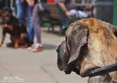 The Distance (Hi-Fi Fotos) Tags: dogs street fair rottweiler dane brindle coat stare space distance standoff bokeh candid nikon dx d5000 hififotos hallewell