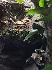 (eyair) Tags: ashmashashmash uk london england dulwich hornimanmuseum aquarium frog