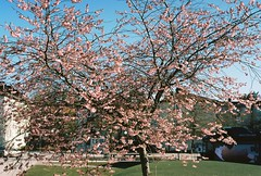Körbärsträd Bagarmossens torg