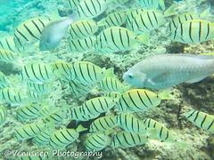 Hanauma Bay 21 (venusnep) Tags: hanaumabay hanauma bay underwater tropicalfish tropical fish iphone watershot watershotpro hawaii snorkeling travel travelphotography may 2018