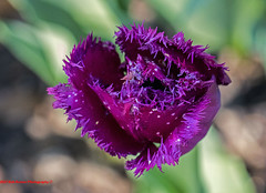 "Purple Parrot Tulip • <a style=""font-size:0.8em;"" href=""http://www.flickr.com/photos/133480378@N04/35230106936/"" target=""_blank"">View on Flickr</a>"