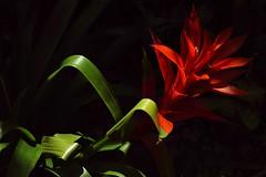 Hakone - Parc de Gora (luco*) Tags: japon japan hakone gora parj fleur flower serre tropicale