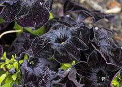 Horror flowers (Matthew P Sharp) Tags: tamron tamrom90mm flower macro blackflower canon calgary